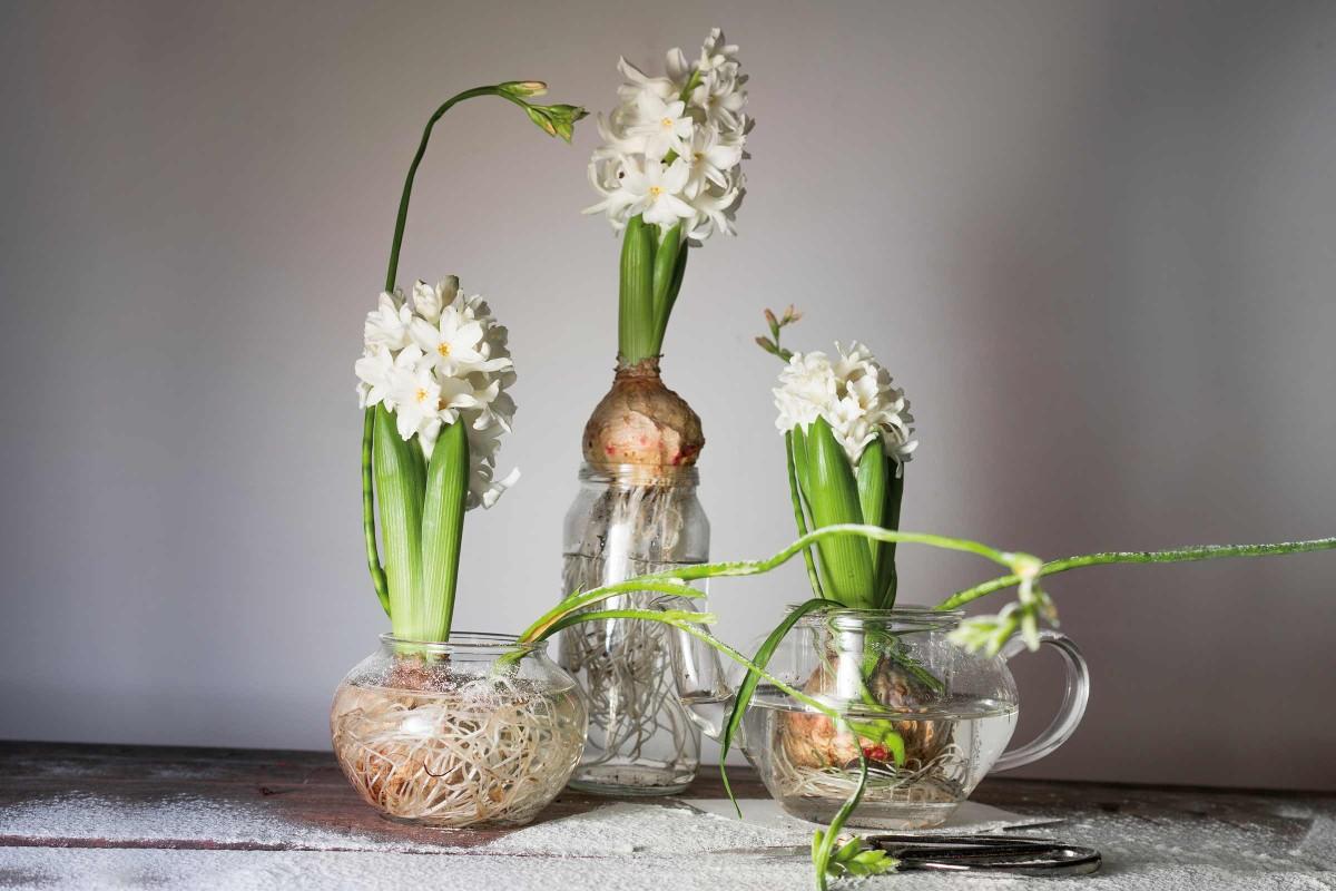 Zimmerpflanzen Blumenzwiebeln