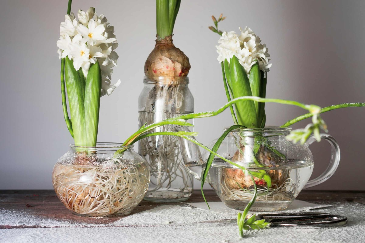 dekorative zwiebeln