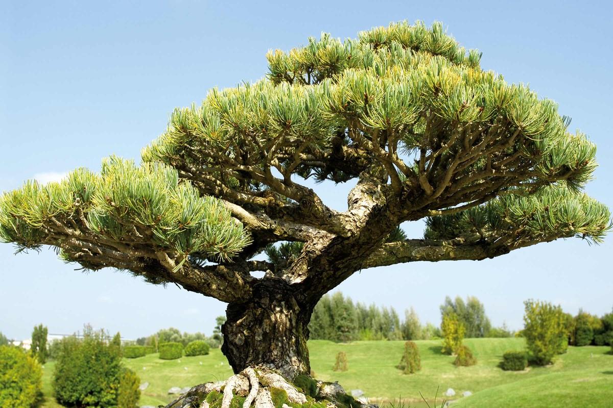 bonsaiart kiefer
