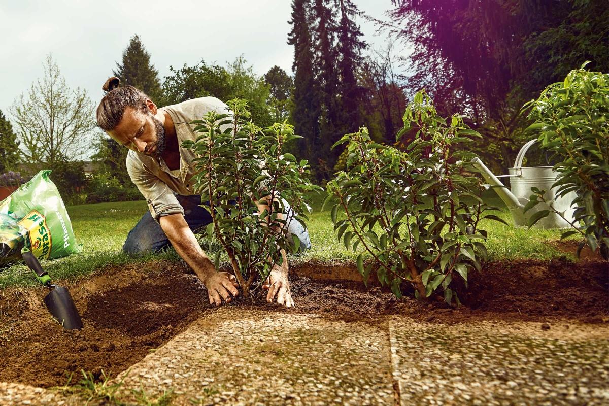 Ligstuer einpflanzen » so setzen Sie die Heckenpflanze in den Garten