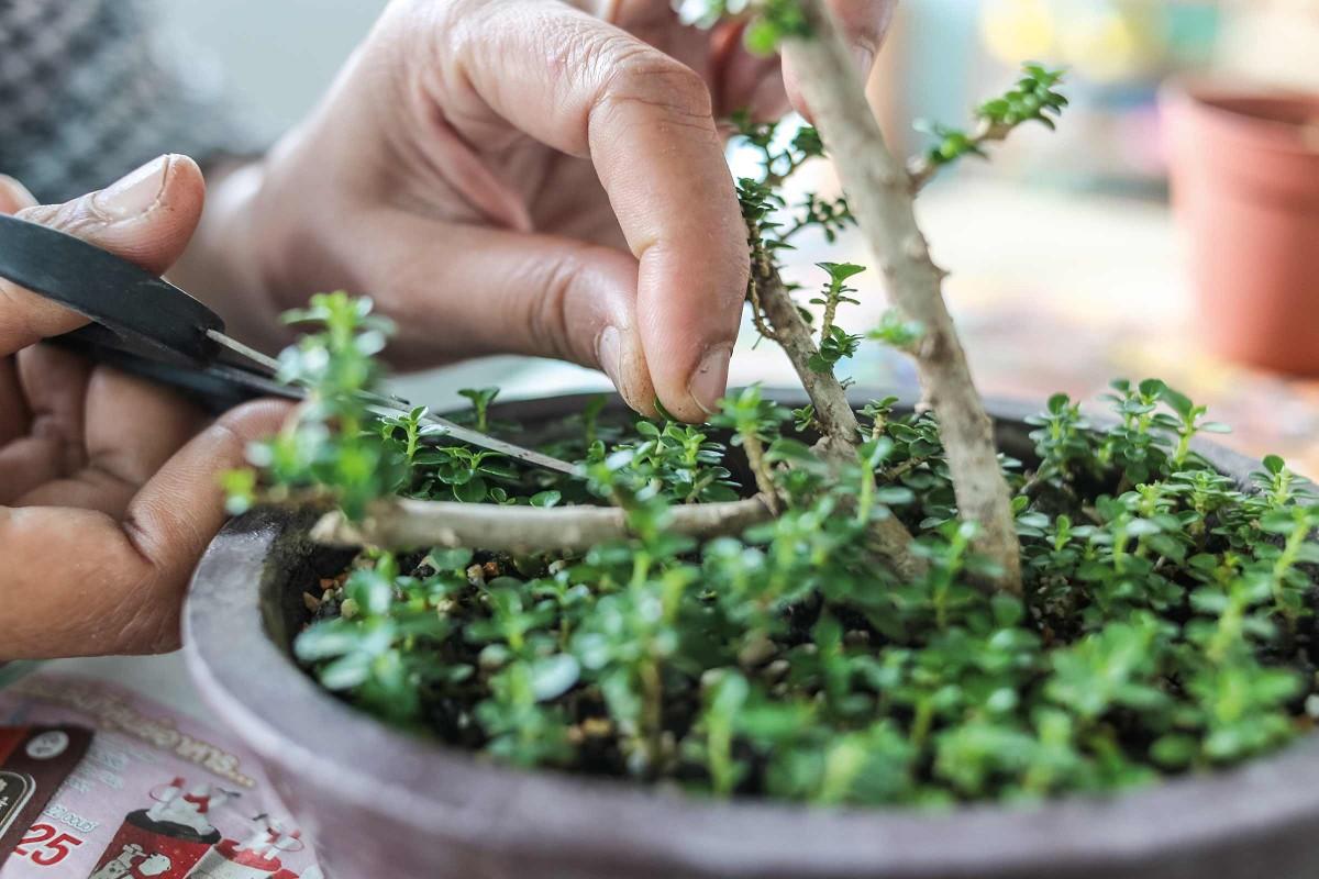bonsai pflegen