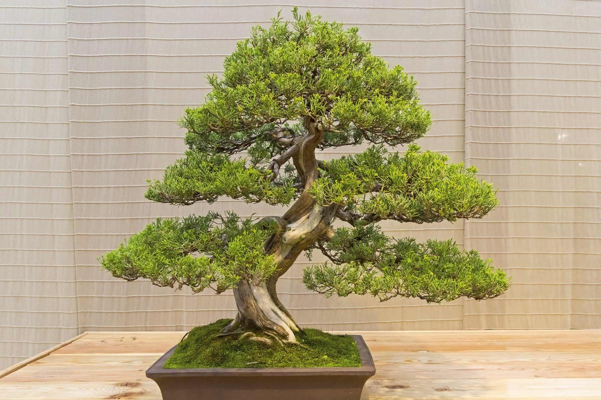 bonsaiart wacholder