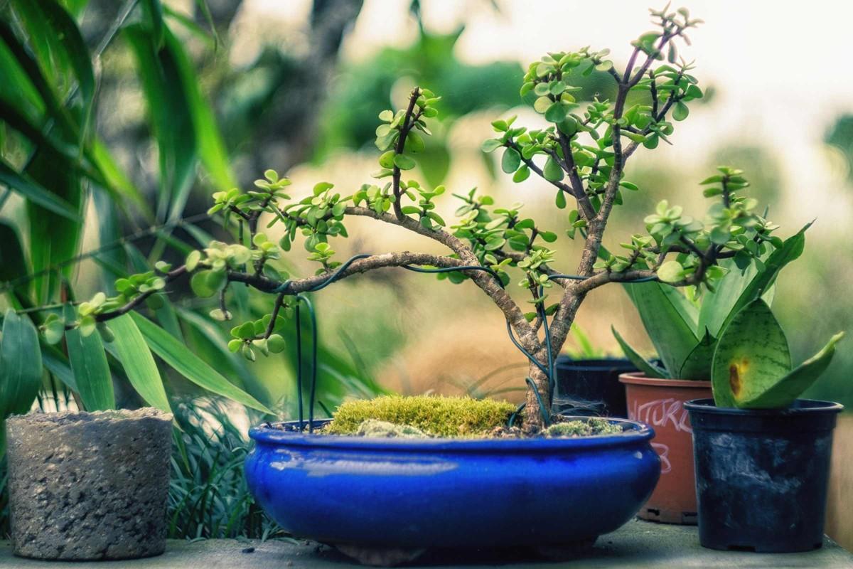 bonsai zuechten