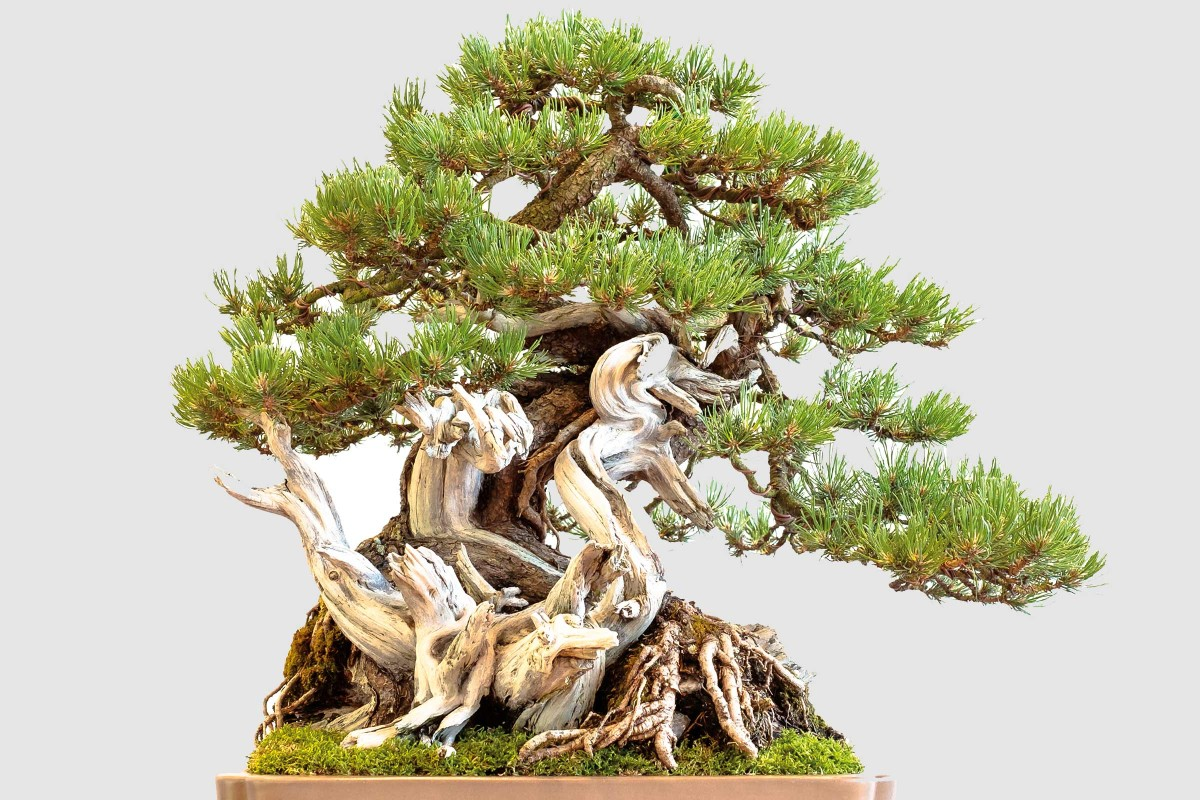 Bonsai Pflegen Hornbach
