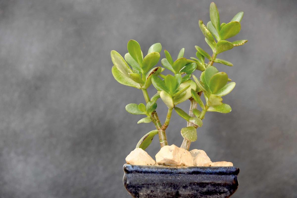 bonsaiart geldbaum
