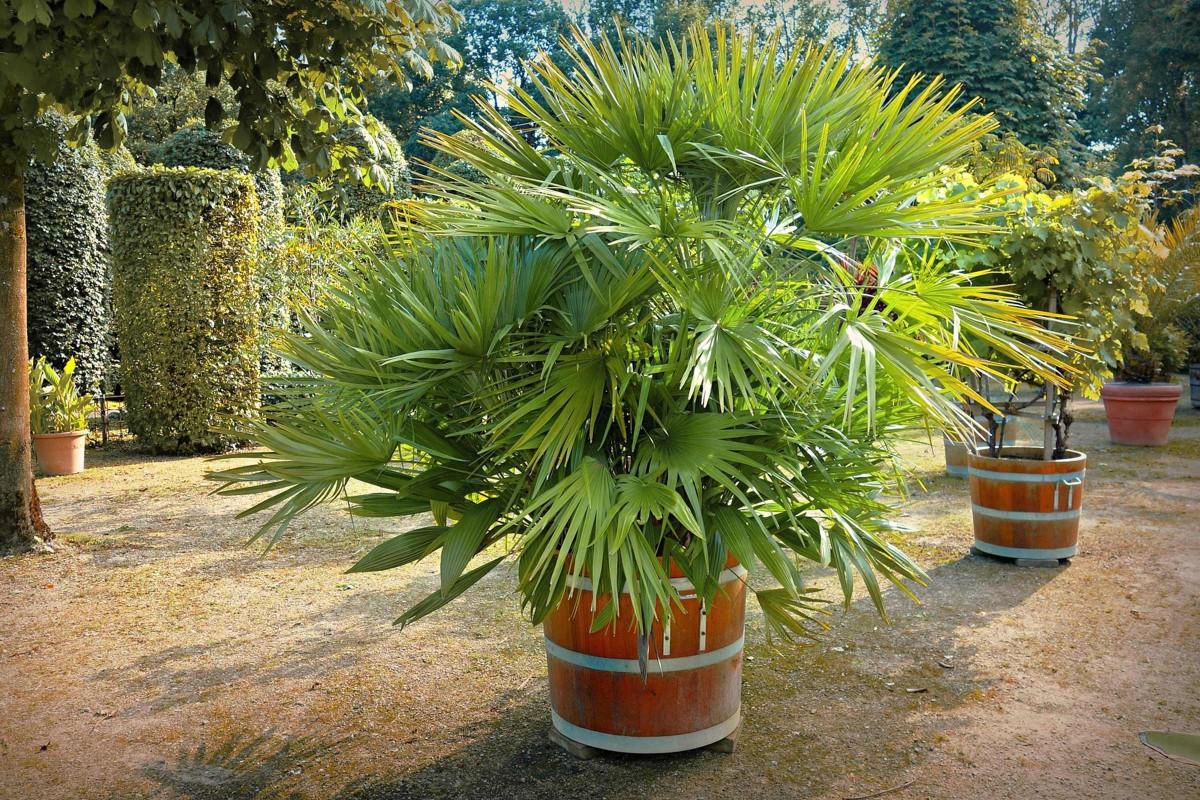 Mediterrane Kuebelpflanzen palme
