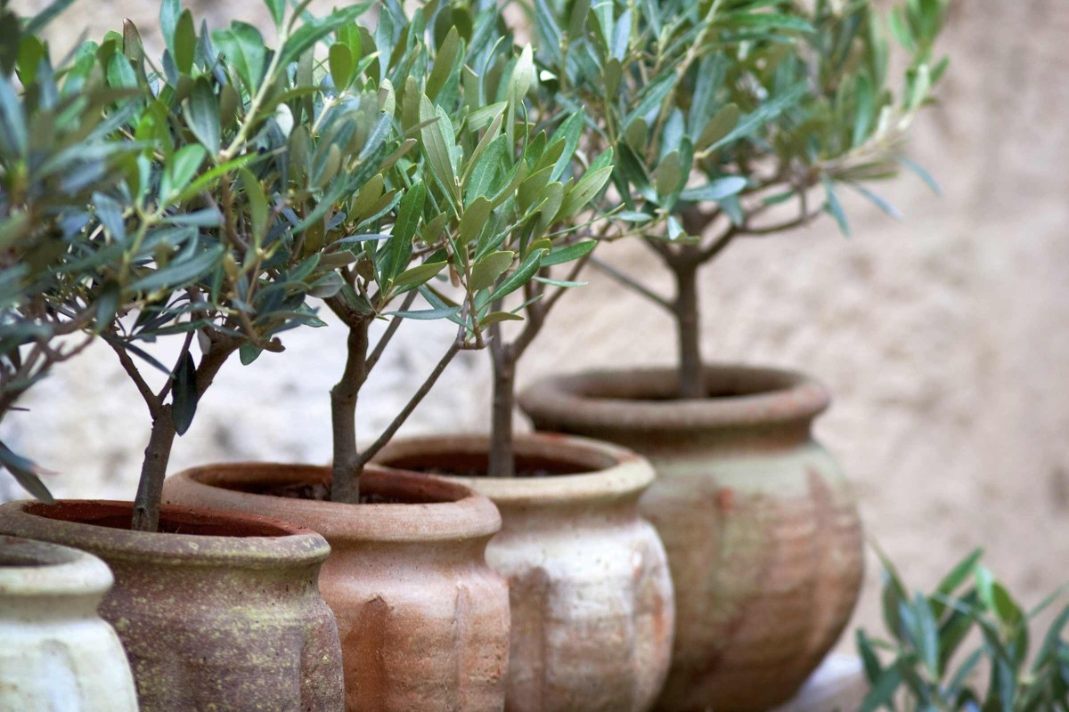 Mediterrane Kuebelpflanzen Olive