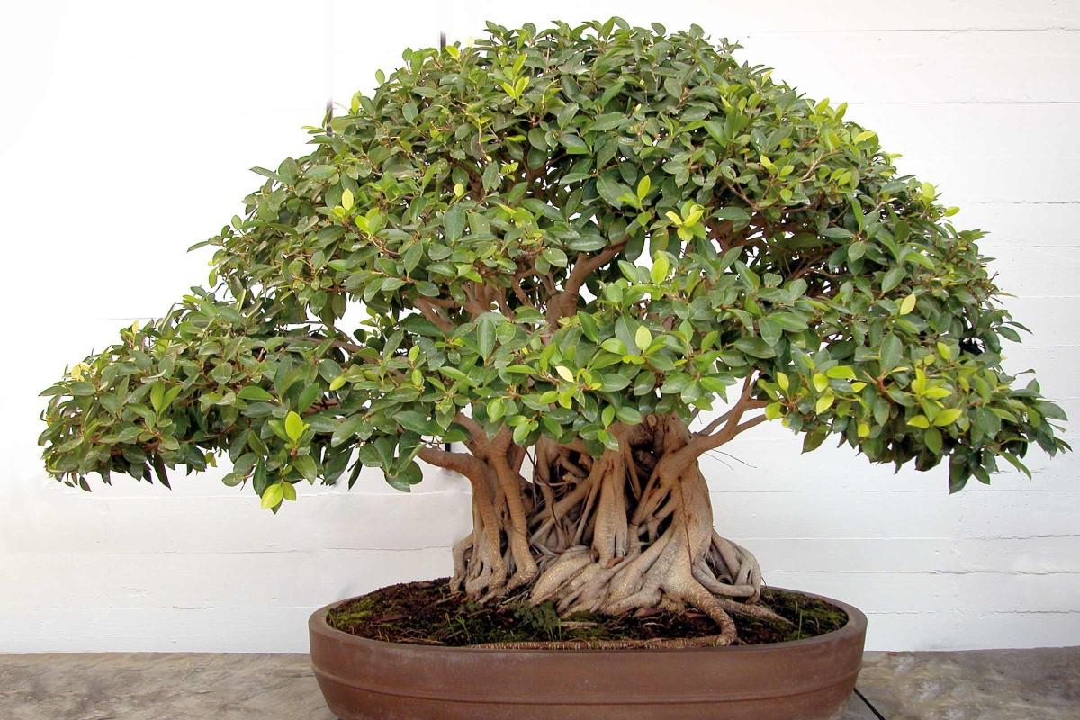 bonsaiart chinafeige