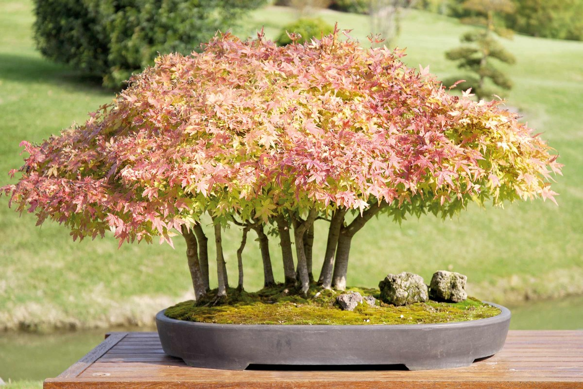 bonsaiart japanischer ahorn