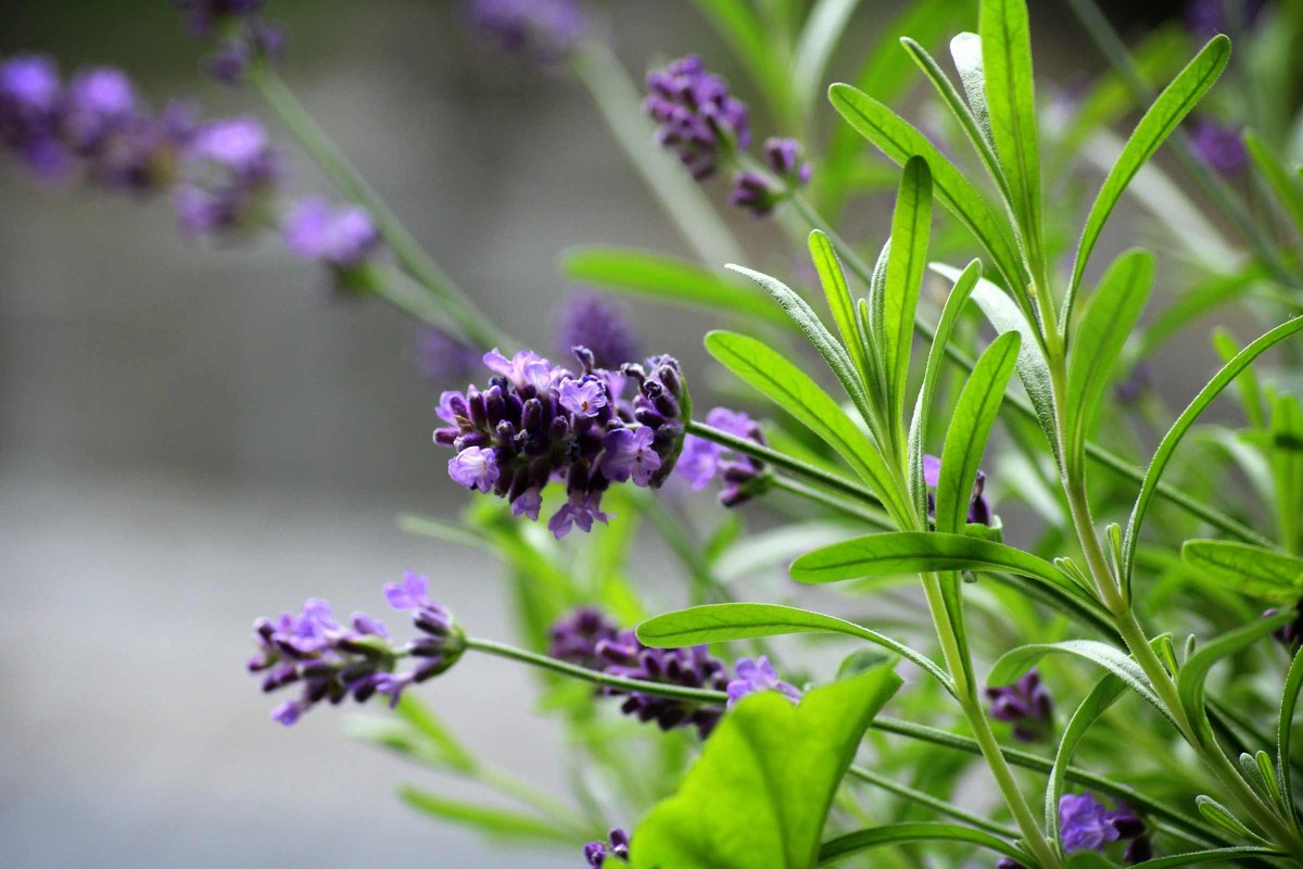 Mediterrane Kuebelpflanzen Bluehpfalnze Lavendel