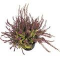 Besenheide, Heidekraut Calluna vulgaris 'Twin Girls' Ø 12 cm Topf zufällige Sortenauswahl