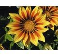 Halbstrauch-Gazanie, Mittagsgold FloraSelf Gazania splendens Ø 14 cm Topf