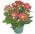 Chrysantheme Chrysanthemum indicum Ø 12 cm Topf zufällige Sortenauswahl