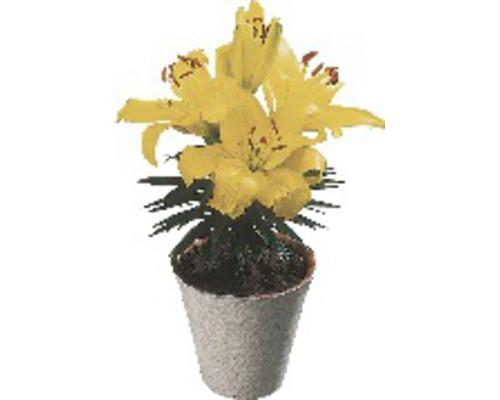 Lilien FloraSelf Lilium x Hybride Ø 13 cm Topf
