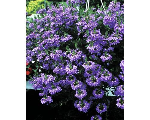 Fächerblume FloraSelf Scaevola aemula Ø 12 cm Topf