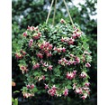 Fuchsie FloraSelf Fuchsia-Cultivars Ø 10,5 cm Topf
