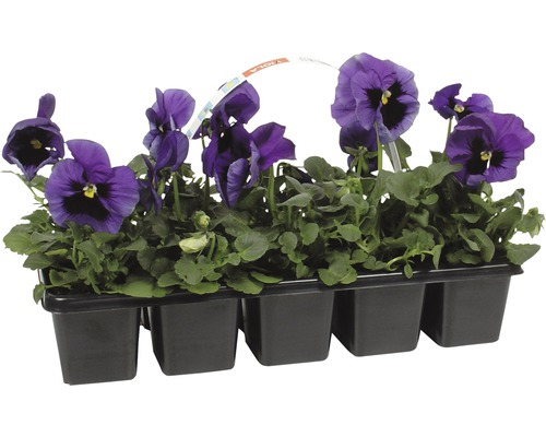 Stiefmütterchen FloraSelf Viola wittrockiana Ø 10 cm Topf 10 Stk