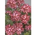 Hängegeranie FloraSelf Pelargonium peltatum Ø 10,5 cm Topf zufällige Sortenauswahl