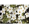 Schneeflockenblume FloraSelf Bacopa x Hybride 'Gulliver Dynamic White' Ø 12 cm Topf