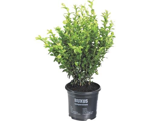 Buchsbaum FloraSelf H 25-30 cm Co 1 L (10 Stk)