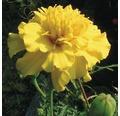 Studentenblume Tagetes patula 'Nana' Ø 9 cm Topf
