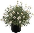 Strauchmargerite FloraSelf Chrysanthemum frutescens Ø 14 cm Topf