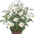 Chrysantheme FloraSelf Chrysanthemum frutescens Ø 11 cm Topf