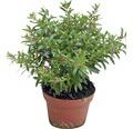 Japanische Scheinmyrthe Cuphea hyssopifolia Ø 11 cm Topf
