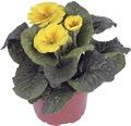 Kissenprimel FloraSelf Primula acaulis Ø 11 cm Topf zufällige Sortenauswahl