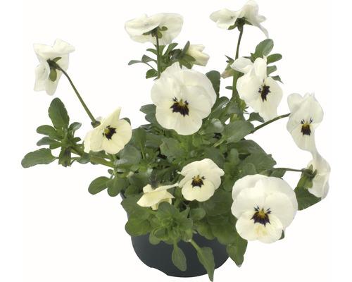 Hornveilchen Viola cornuta Ø 9 cm Topf zufällige Sortenauswahl