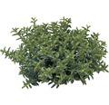 Strauchveronika FloraSelf Hebe armstrongii 'Green Boys' Ø 12 cm Topf