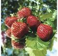 Erdbeere FloraSelf Fragaria x ananassa 'Ostara' 6 Stk.