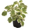 Weihrauch FloraSelf Plectranthus fruticosus Ø 10,5 cm Topf