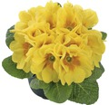 Gartenprimel FloraSelf Primula acaulis Ø 9 cm Topf zufällige Sortenauswahl