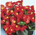 Eisbegonie Begonia semperflorens Ø 9 cm Topf