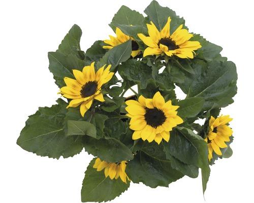 Sonnenblume FloraSelf Helianthus annuus 'Sunshine' Ø 15 cm Topf