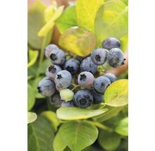 Heidelbeere BrazelBerry® 'Peach Sorbet' H 30-35 cm Co 6 L