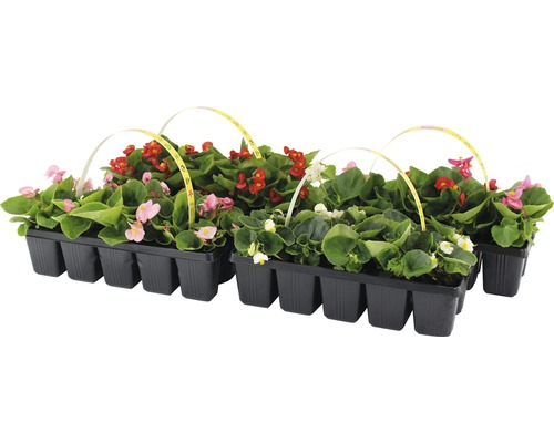 Eisbegonie FloraSelf Begonia semperflorens Ø 5 cm Topf 10 Stk