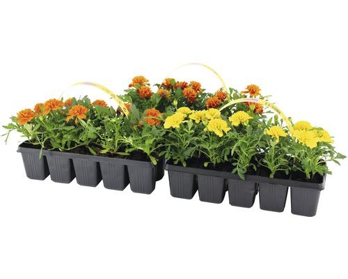 Studentenblume FloraSelf Tagetes patula Ø 5 cm Topf 10 Stk