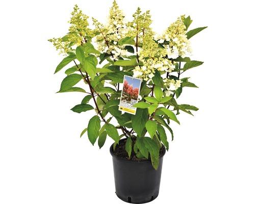 Rispenhortensie Hydrangea paniculata 'Pinky Winky' H 40-60 cm Co 5 L
