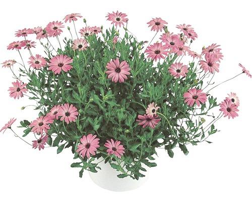 Kapkörbchen FloraSelf Osteospermum H 40-60 Ø 18 cm