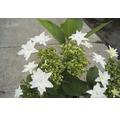 Tellerhortensie FloraSelf Hydrangea macrophylla 'Hovaria Fireworks White' H 30-40 cm Co 4,6 L