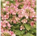 Rispenhortensie FloraSelf Hydrangea paniculata 'Early Sensation' H 50-60 cm Co 5 L
