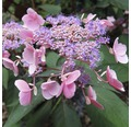 Samthortensie FloraSelf Hydrangea aspera 'Hot Chocolate' H 40-50 cm Co 5 L