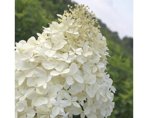 Rispenhortensie FloraSelf Hydrangea paniculata 'Phantom' H 150-170 cm Co 170 L