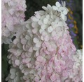 Rispenhortensie FloraSelf Hydrangea paniculata 'Pinky Winky' H 150-170 cm Co 170 L