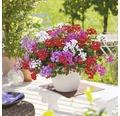 Hängegeranie FloraSelf Pelargonium peltatum 'Rainbow Trio' Ø 12 cm Topf