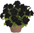 Hängepetunie FloraSelf Petunia x atkinsiana 'Black Ray' Ø 12 cm Topf
