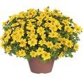 Goldmarie FloraSelf Bidens ferulifolia 'Yellow Sunshine' Ø 12 cm Topf