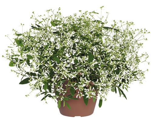 Zauberschnee FloraSelf Euphorbia hypericifolia 'Diamond Frost' Ø 12 cm Topf